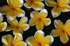 A flor do Plumeria na água para termas e relaxa Fotografia de Stock