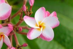 Flor do Plumeria que floresce na árvore - floresça a cor branca, cor-de-rosa e amarela Fotos de Stock