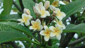 Flor do Plumeria filme