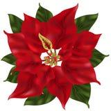 Flor do Poinsettia Foto de Stock