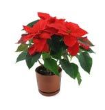 Flor do Poinsettia isolada no branco Fotos de Stock Royalty Free