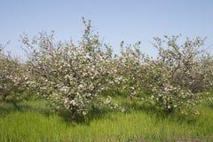 Flor do pomar Imagens de Stock