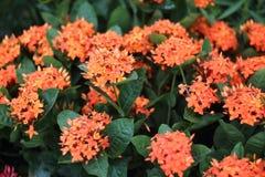 Flor do ponto Fotografia de Stock Royalty Free