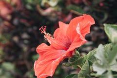 Flor do ponto, Foto de Stock Royalty Free
