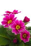 Flor do Primula Foto de Stock Royalty Free