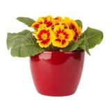Flor do Primula no potenciômetro vermelho Fotos de Stock Royalty Free