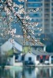 A flor do pêssego Imagens de Stock