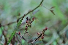 Flor do pudica da mimosa Fotografia de Stock