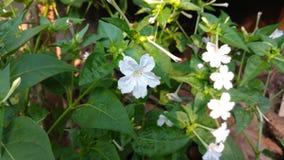 Flor do pulso de disparo do ` de quatro O, maravilha de peru, Mirabilis Jalapa Imagens de Stock Royalty Free