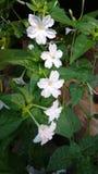 Flor do pulso de disparo do ` de quatro O, maravilha de peru, Mirabilis Jalapa Foto de Stock Royalty Free