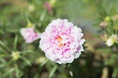 Flor do Purslane comum Fotografia de Stock