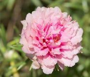Flor do Purslane comum Fotos de Stock
