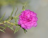Flor do Purslane comum Imagem de Stock Royalty Free