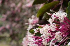flor do quezonia árvore do starburst do inverno Clerodendrum Quadrilocul Foto de Stock