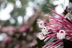 flor do quezonia árvore do starburst do inverno Clerodendrum Quadrilocul Fotos de Stock
