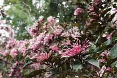 flor do quezonia árvore do starburst do inverno Clerodendrum Quadrilocul Imagem de Stock
