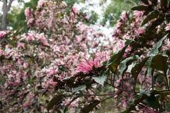 flor do quezonia árvore do starburst do inverno Clerodendrum Quadrilocul Fotografia de Stock Royalty Free