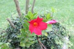 Flor do Rad imagens de stock
