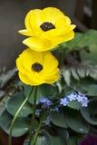 Flor do ranúnculo na mola fotos de stock royalty free