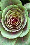 Flor do repolho imagem de stock