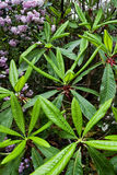 Flor do Rhododendron fotos de stock royalty free