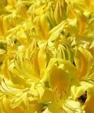 Flor do Rhododendron Fotografia de Stock Royalty Free