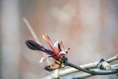 A flor do rim do bordo imagem de stock royalty free