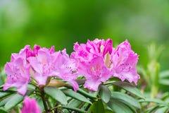 Flor do rododendro Fotos de Stock Royalty Free