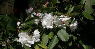 Flor do rododendro crescida no parque perto de Praga imagens de stock