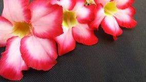 Flor do roem APOCYNACEAAE do obesum de Adesum fotografia de stock