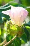 Flor do rosa da cápsula do algodão imagem de stock royalty free