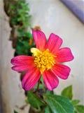 Flor do rosa da sensação do cosmos fotografia de stock