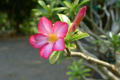 Flor do rosa de Lilly da impala que floresce no jardim Tailândia Foto de Stock