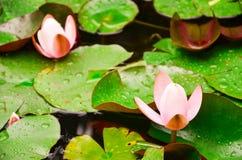 Flor do rosaea do Nymphaea foto de stock royalty free