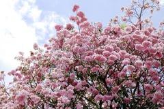 Flor do rosea de Tabebuia Fotos de Stock Royalty Free