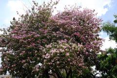 Flor do rosea de Tabebuia Imagem de Stock Royalty Free