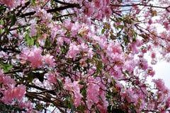 Flor do rosea de Tabebuia Fotografia de Stock