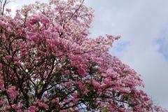 Flor do rosea de Tabebuia Fotografia de Stock Royalty Free