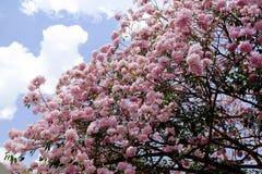 Flor do rosea de Tabebuia Fotos de Stock