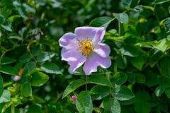 A flor do Rosehip Fotografia de Stock