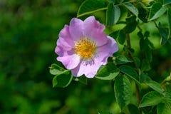 A flor do Rosehip Imagens de Stock
