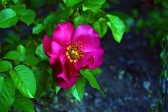 Flor do rosehip em um arbusto, fundo borrado da cão-rosa Foto de Stock Royalty Free