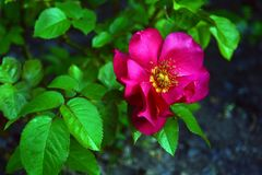 Flor do rosehip em um arbusto, fundo borrado da cão-rosa Imagem de Stock