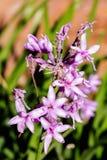 Flor do roxo do alho selvagem Fotografia de Stock Royalty Free