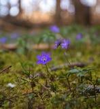 flor do roxo da mola Fotografia de Stock Royalty Free