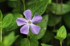 Flor do roxo de Vinca Minor Imagens de Stock Royalty Free