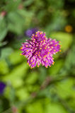Flor do roxo do close up Fotos de Stock