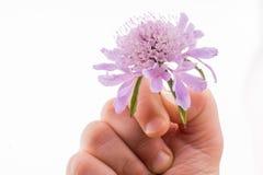 Flor do roxo do holdingA da mão Imagem de Stock Royalty Free