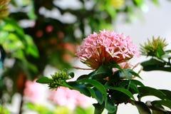Flor do Rubiaceae Foto de Stock Royalty Free