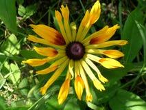 Flor do Rudbeckia fotografia de stock